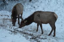 Woke up to a herd of Elk outside my hostel window